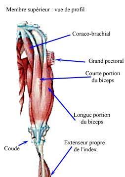 biceps anatomie